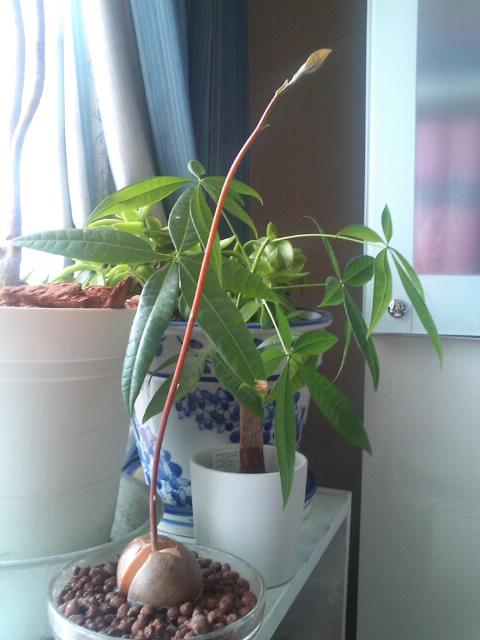アボガドの芽
